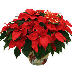 Amazing Red Poinsettia