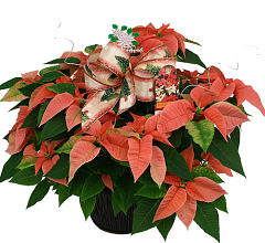 Large Pink Poinsettia