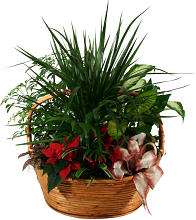Large Poinsettia Planter
