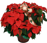 Shop online from our best selling and most popular Christmas flowers, centerpieces, poinsettias and flower arrangements. Same day delivery across Canada.