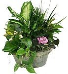 Welcome to Canada Flowers online catalogue of Sympathy Plants for the home or office. Let a loved one know you are thinking of them by sending one of our carefully selected sympathy plants. Each planter basket will be crafted by only the top local florists in Canada. Prices are in Canadian dollars. Taxes are added at checkout. For a wider selection of indoor plant options, see our full Indoor Plants catalogue.