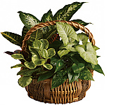 Teleflora Plants, flowering plants, planter baskets and tropical plants delivered in Canada same day with Canada Flowers. Plants are a wonderful
