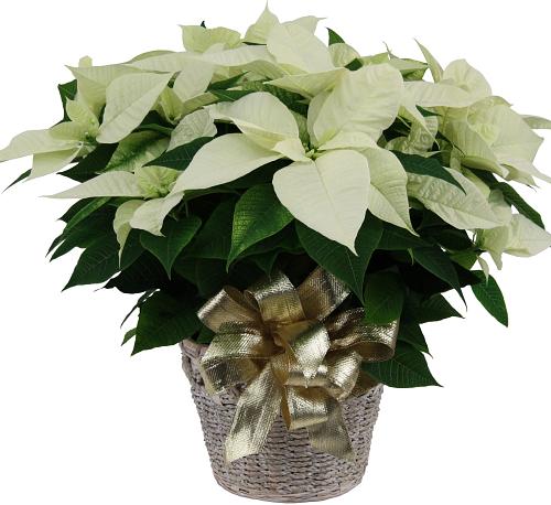 White Poinsettia Cpl5aa Christmas Plants Poinsettias Canada