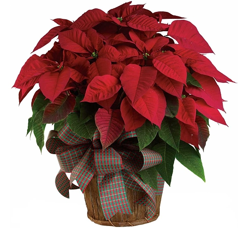 Teleflora's Large Red Poinsettia Plant
